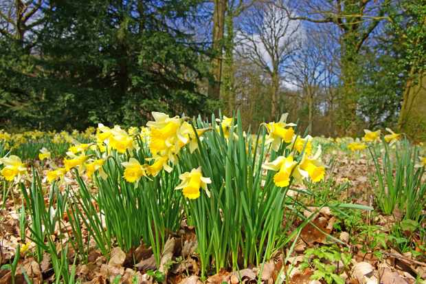 Daffodils in a woodland