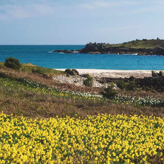 Daffodils on the Isles of Scilly, Cornwall