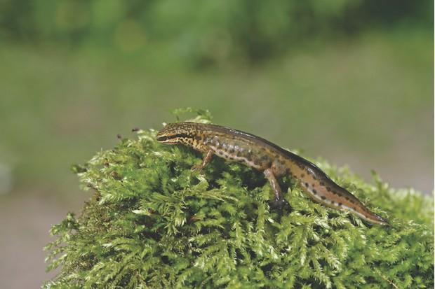 Palmate newt, Triturus helveticus