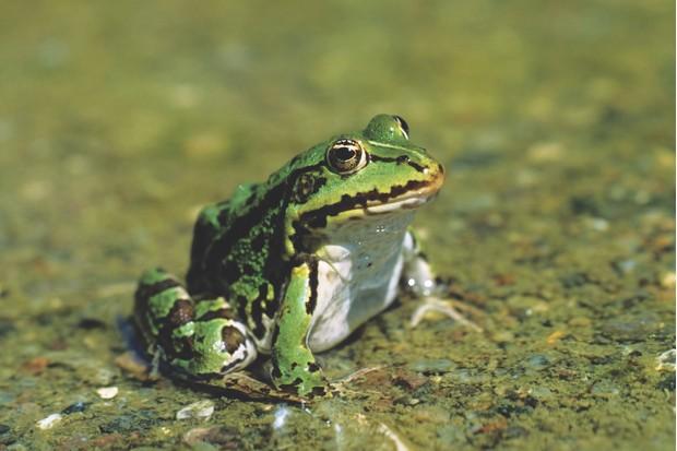 Pool frog (Pelophylax lessonae / Rana lessonae)