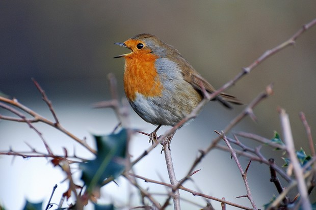 Robin singing