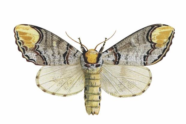 Buff Tip (Phalera bucephala)