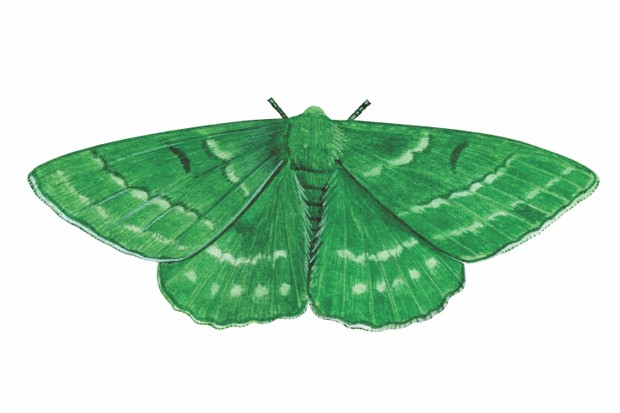 Large Emerald Moth (Geometra papilionaria)