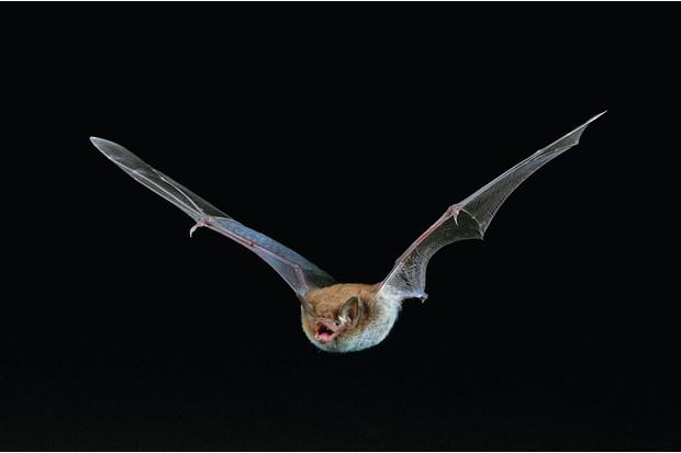 Daubenton's bat (Myotis daubentoni)