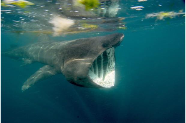 Basking shark (Cetorhinus maximus), Falmouth Bay, Cornwall, UK