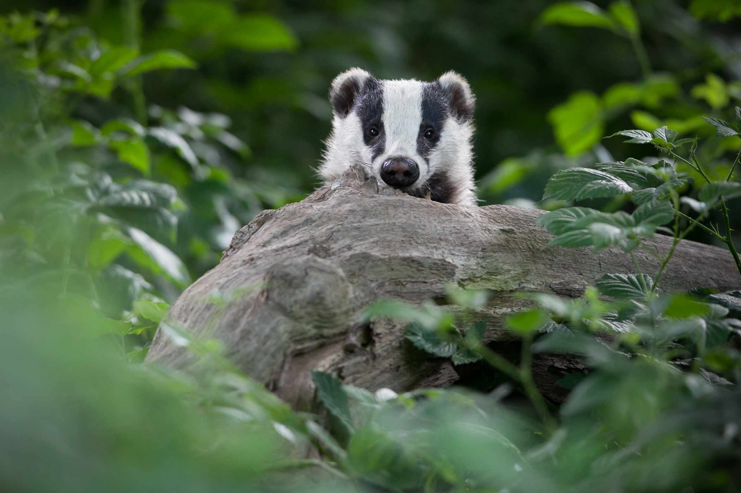 European badger, Meles meles