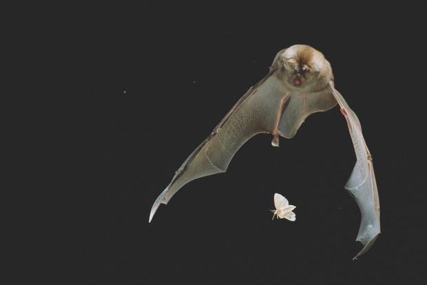 Greater horseshoe bat catching a moth