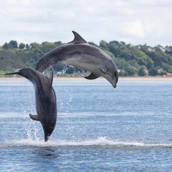 Bottlenose dolphins in the Moray Firth, Scotland