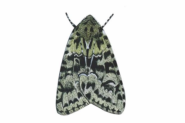 guide to britain 39 s moths. Black Bedroom Furniture Sets. Home Design Ideas
