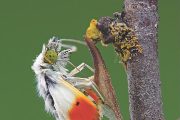 Orange-tip butterfly, Anthocharis cardamines)