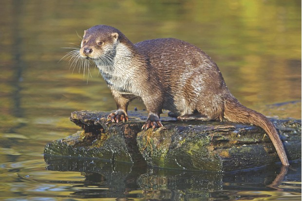 European river otter