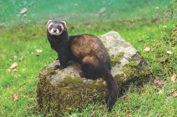 The European polecat (Mustela putorius)