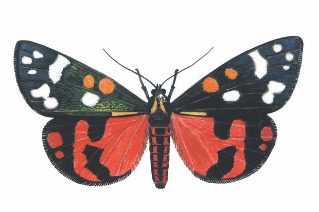 Scarlet Tiger Moth (Callimorpha dominyla)