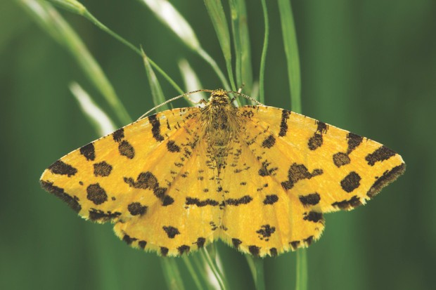 Speckled yellow (Pseudopanthera macularia)