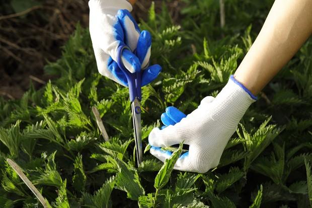 Cutting stinging nettles