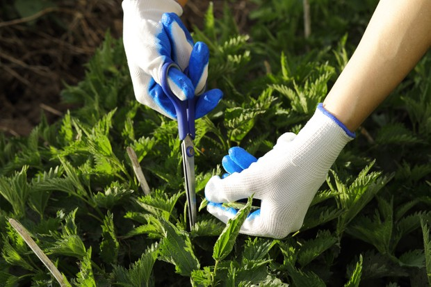 Cutting stinging nettles