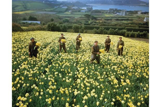 Troops harvesting daffodils