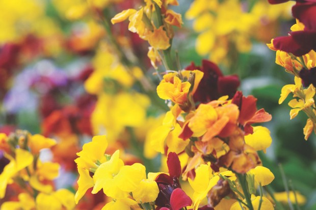 Brightly coloured Erysimum flowers