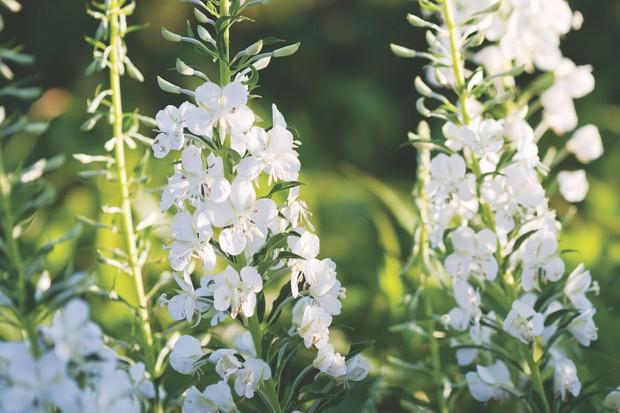 White Rosebay Willowherb Epilobium angustifolium album