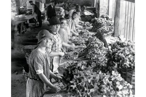 Women bunching daffodils