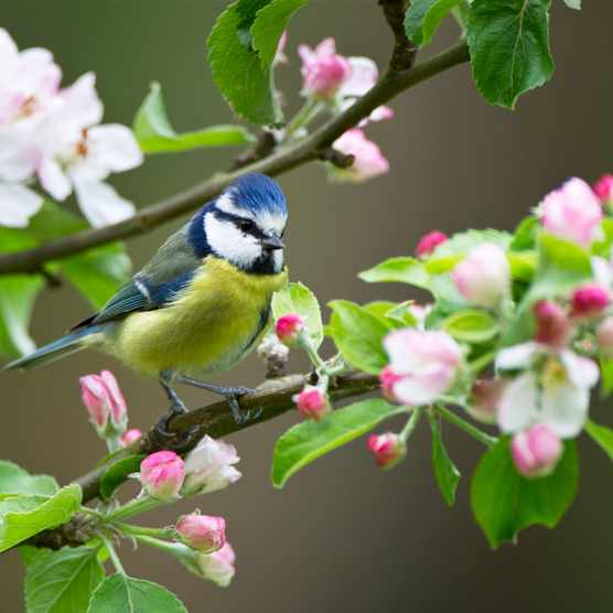 Blue tit in spring blossom