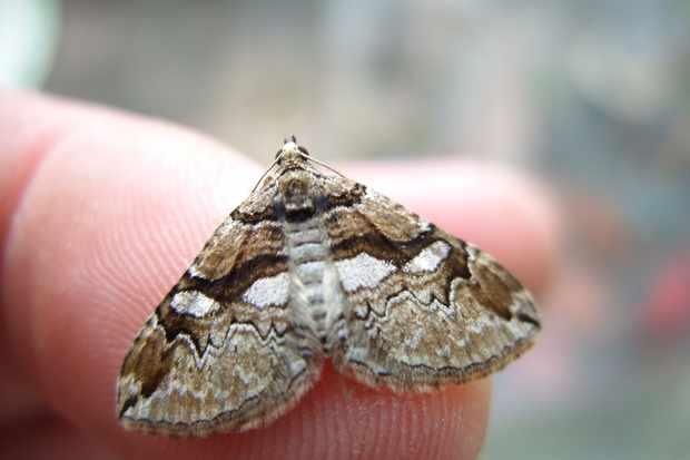 Moth on finger