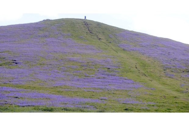 Bluebells on hillside