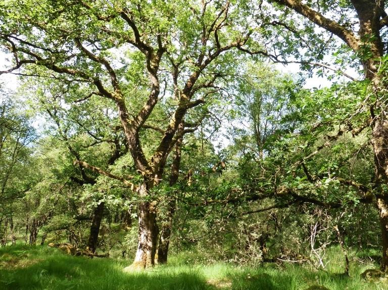 Native oak decline puts thousands of species at risk