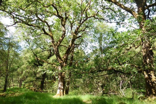 British oak trees