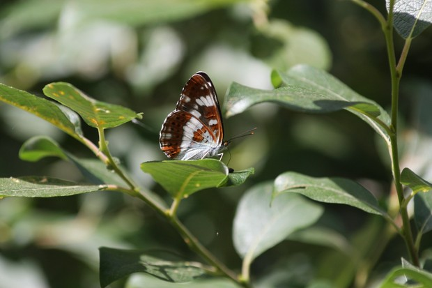 Butterfly - White admiral_Credit Simon Bound