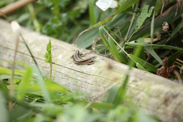 Common Lizard_Credit Simon Bound
