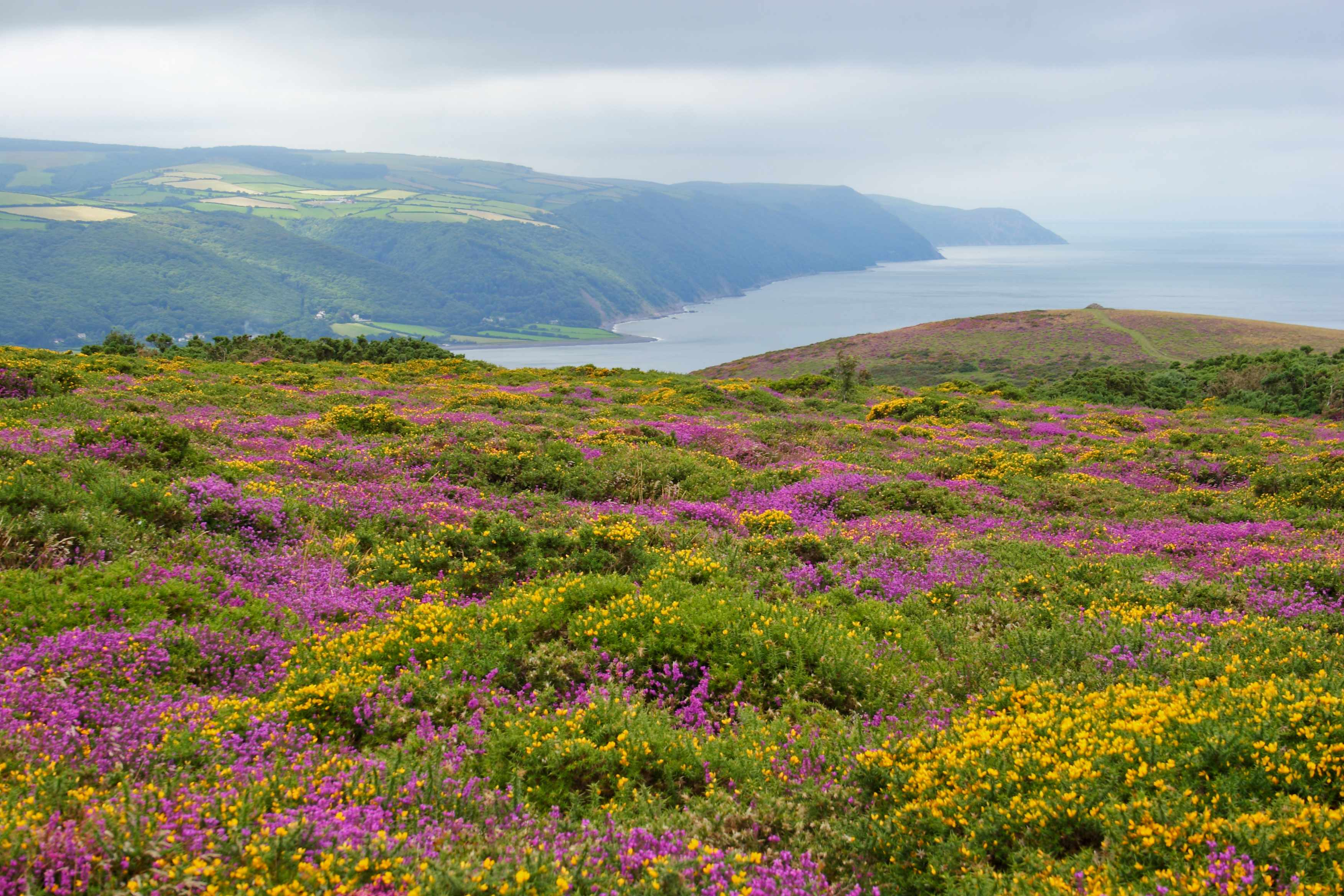Heather on Exmoor National Park