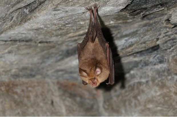 Greater horseshoe bat, Rhinolophus ferrumequinum
