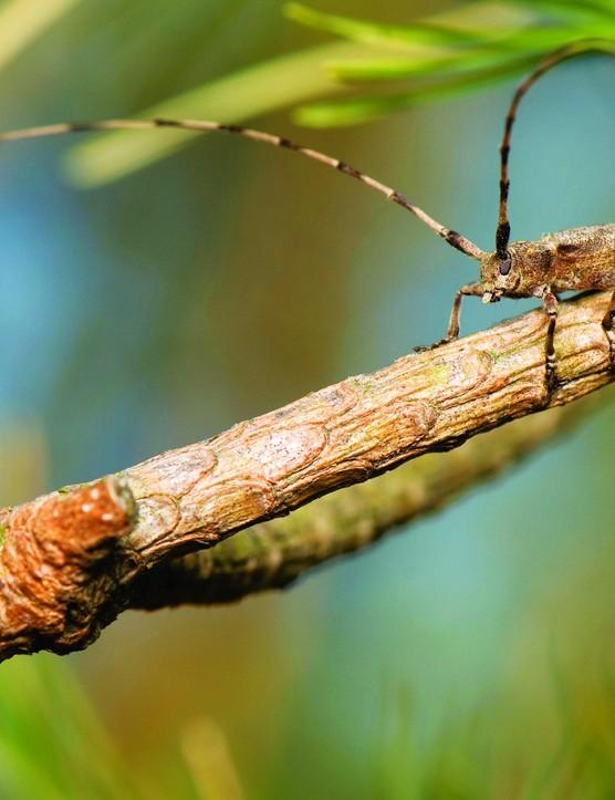 Timberman beetle, Acanthocinus aedilis