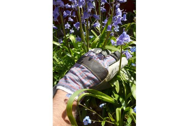 Gardener tending to bluebells