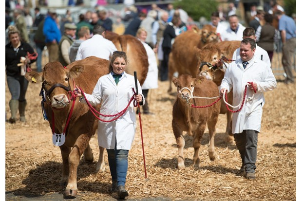 EXETER, ENGLAND - MAY 18: Cattle are lead as they are judged at the 122nd Devon County Show at the Westpoint Arena and Showground in Clyst St Mary near Exeter on May 18, 2017 in Devon, England. Established in 1872 it has grown into one of the South West's biggest county shows and is often seen as a curtain raiser for the whole showing season. Although primarily a agricultural livestock and produce showcase, it is also seen as a barometer for the health of the whole agricultural industry in general, which is in a state of uncertainty and flux following the UK's vote to leave the European Union. (Photo by Matt Cardy/Getty Images)