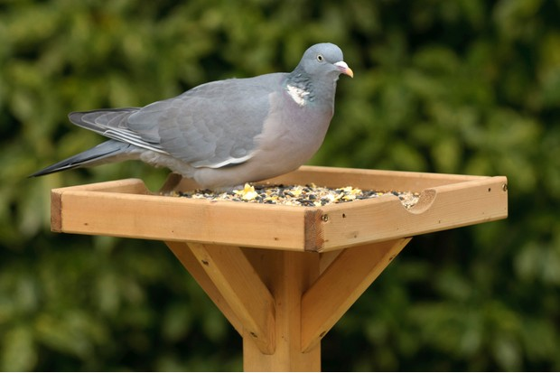 Wood pigeon on bird table