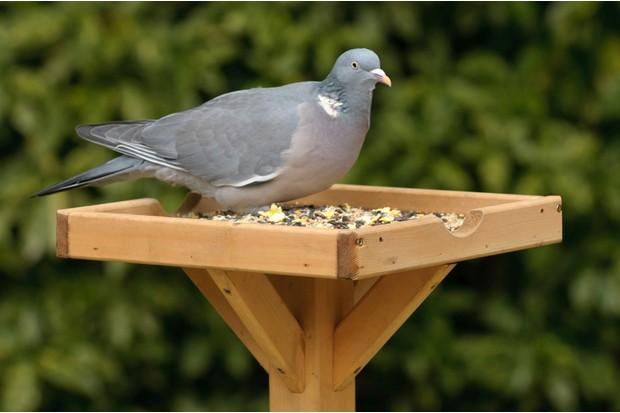 Wood pigeon on bird table