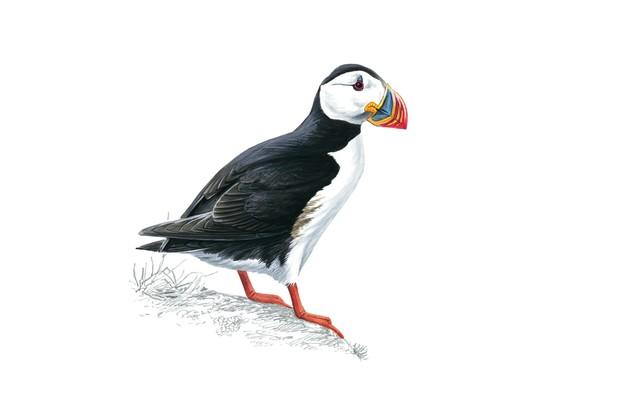 Puffin, Fratercula arctica