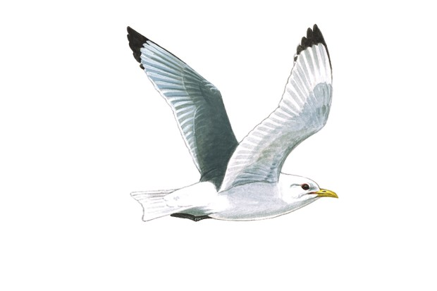 Kittiwake, Rissa tridactyla