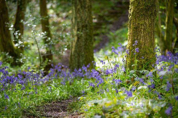 Bluebells on forest floor