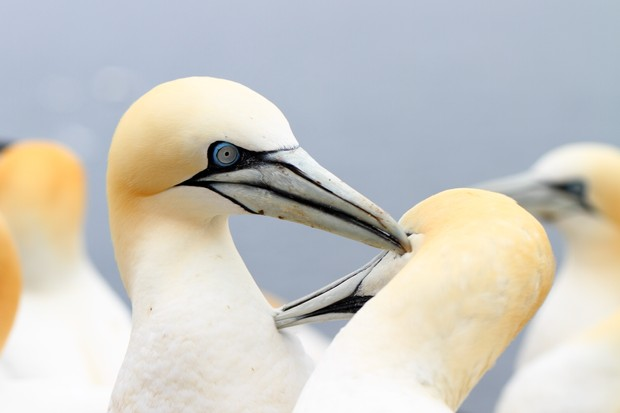 Gannets on Bass Rock, Scotland
