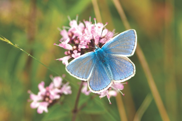 The Common blue butterfly, Polyommatus icarus
