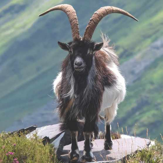 Wild Welsh Feral Goat, Llanberis Pass, Snowdonia National Park, North Wales, UK