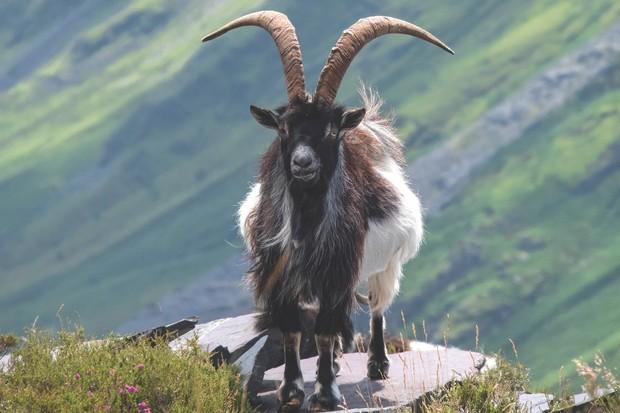 Wild Welsh Feral Goat, Llanberis Pass, Snowdonia National Park, North Wales, UK