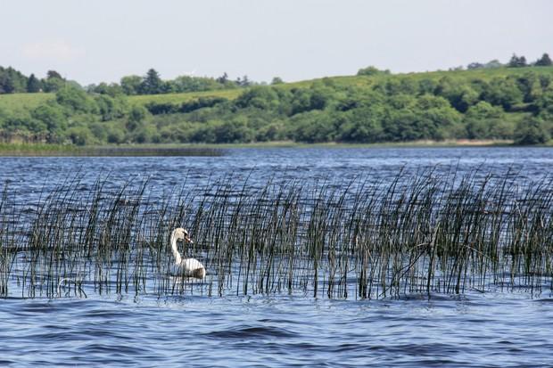 Swan, Lower Lough Erne, County Fermanagh
