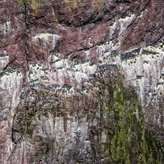 Seabirds at St Abb's Head, Berwickshire, Scotland