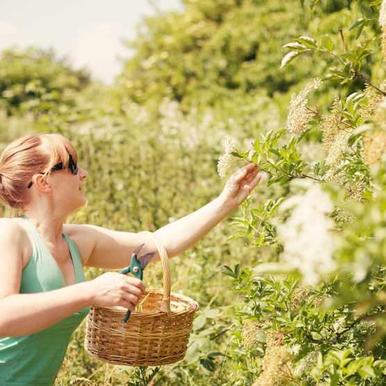 Woman foraging for elderflower