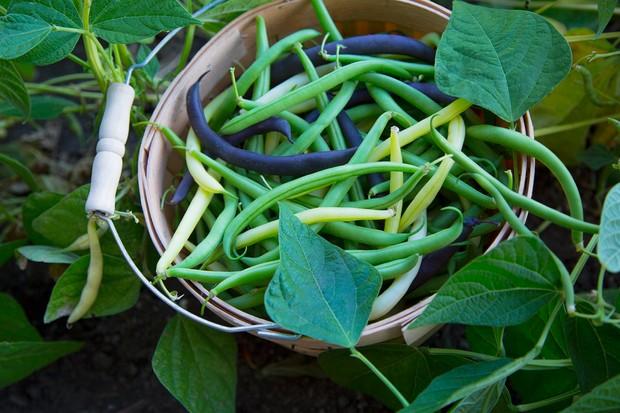 basket of runner beans