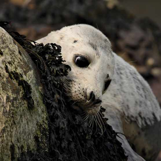 Seal pup on rock